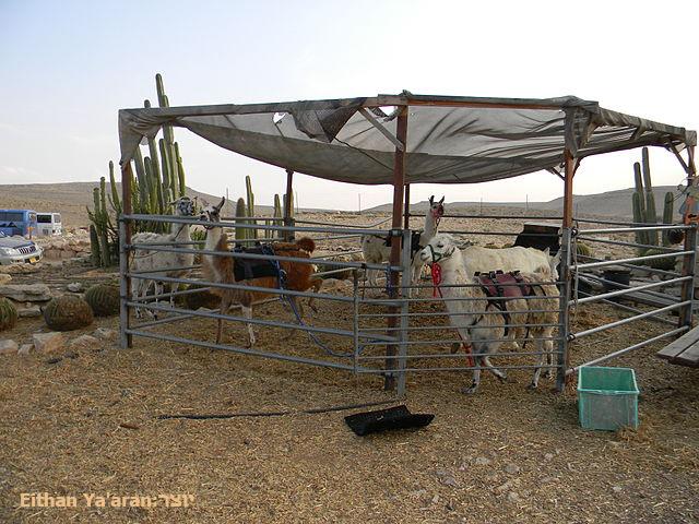 חוות האלפקות - למות בחווהחוות האלפקות - למות בחווה